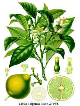 Oil from the bergamot orange is used to flavor Earl Grey tea